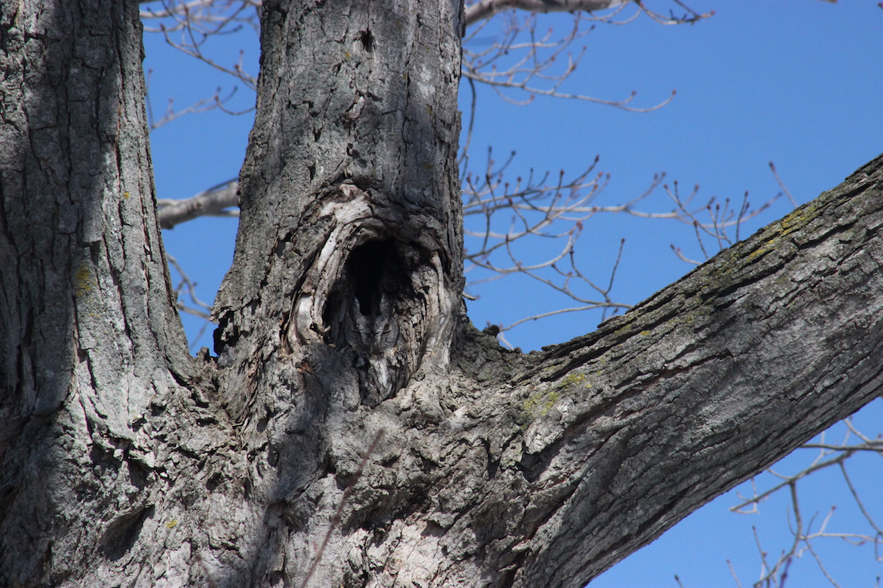 Perfectly camouflaged Gray Morph Eastern Screetch Owl (photo)