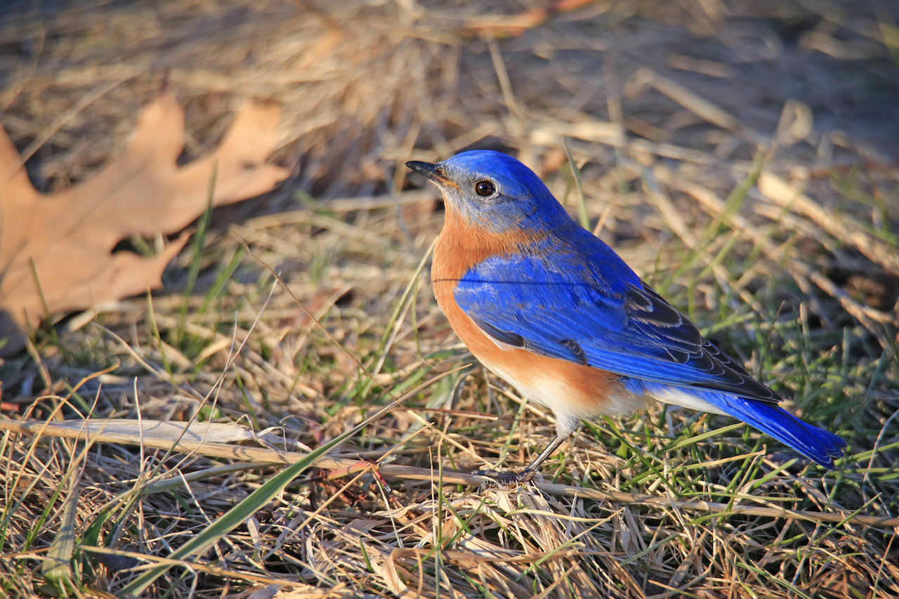 Posing bluebird near Cayuga Lake (photo)