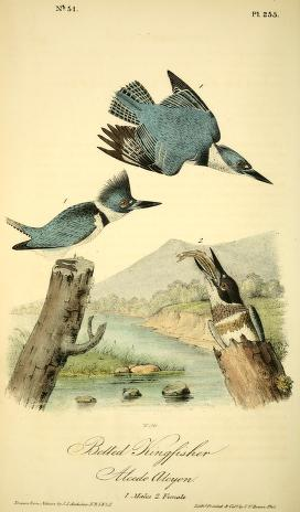 Audubon's illustration of 3 belted kingfishers, 2 males (one in flight) and 1 female emerging from a stump with a fish in her mouth
